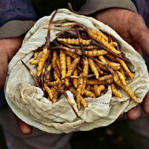 Top 5 sản phẩm đông trùng hạ thảo được ưa chuộng nhất tại Nhật Bản